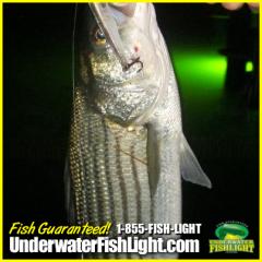 StripedBassUnderwaterFishLightDockLightFishingLightsAttractFishStriperRockfish