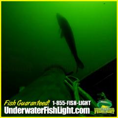 snookattractedtounderwaterdocklightbyunderwaterfishlightfishinglightsdocklighting-2000x2000