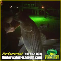 virginiastripedbassunderwaterfishlight-2000x2000